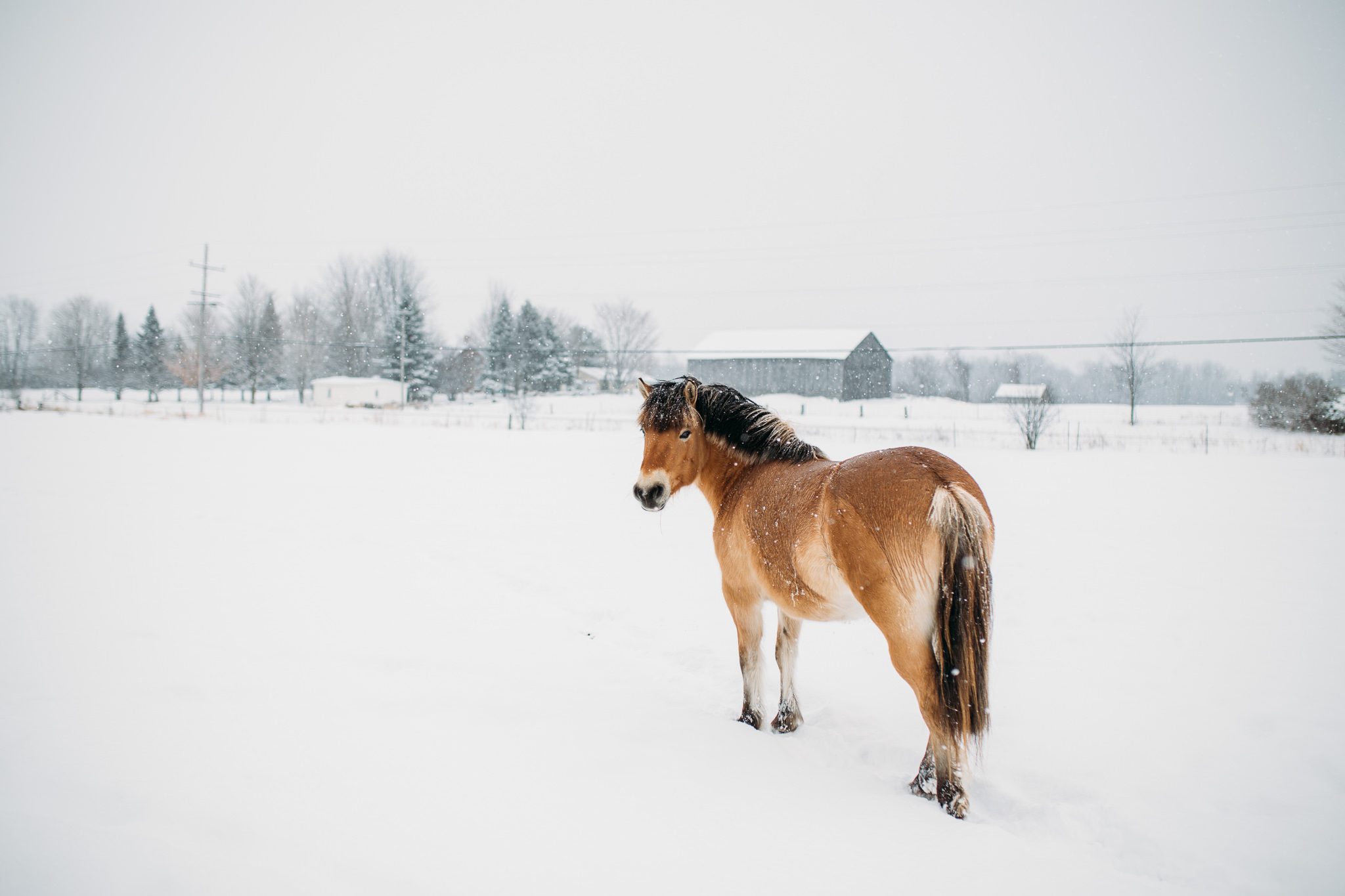 Kerry Ford Photography Horse Photography Norwegian Fjord Horse Ottawa Equine Photographer Ottawa Horse Photographer 5 Kerry Ford Photography